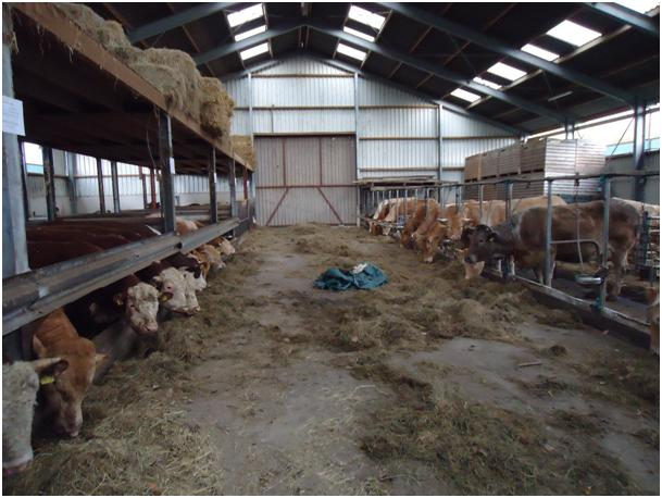 Morgen open dag en excursie de kok herefords for Boerderij met stallen te koop