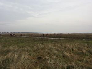 De koeien trekken dwars door het water naar de andere kant