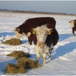 3 vaarzen in de sneeuw
