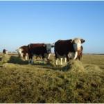 Als we gaan kijken bij de koeien nemen we weleens een baaltje hooi mee. Dat gaat er altijd wel in