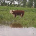 De koeien houden veel van water.