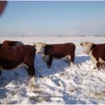 De koeien in de sneeuw (1)