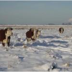 De koeien in de sneeuw (2)