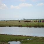 De koeien waren niet bang voor de grote groep mensen