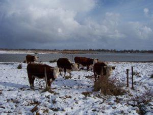 Eigenschappen Herefords (sneeuw)