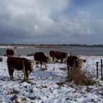 Herefordkoeien kunnen zelfs ook buiten blijven in de sneeuw.