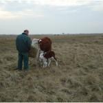 In de verte grazen de andere koeien.