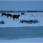 Koeien in de sneeuw (3)