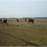 Trekkende koeien